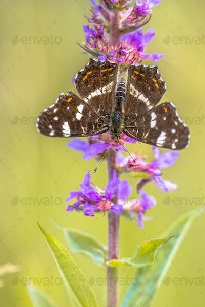 Map Butterfly on purple loosestrife flower