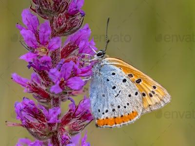 Large copper butterfly on purple flower