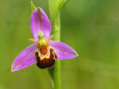 Macro image of Bee orchid
