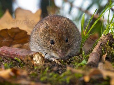 Bank vole sitting on forest floor