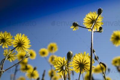 The yellow dandelion flower