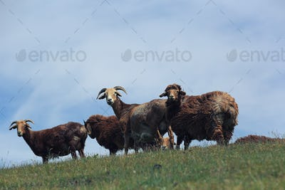 Sheep on mountain top looking at camera