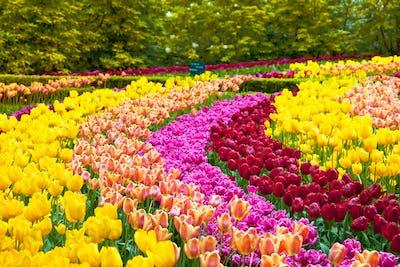 Tulip flowers garden in spring background or pattern