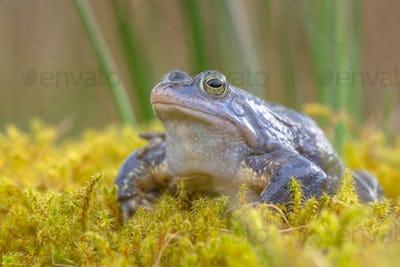 Blue Moor frog