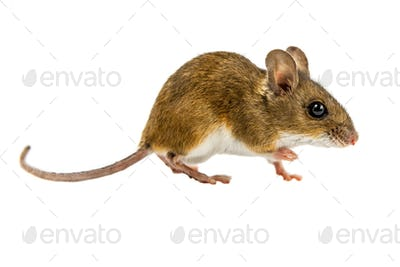 Curious Walking Field Mouse on white background