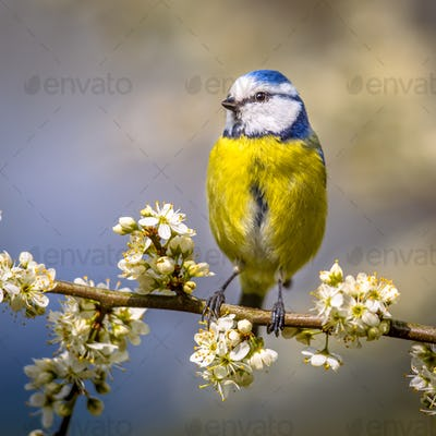 Blue tit portrait in blossom square