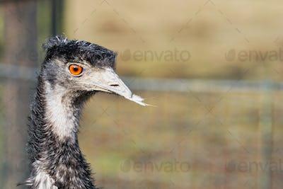 Portrait of emu (Dromaius novaehollandiae)