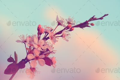 Sakura blooming