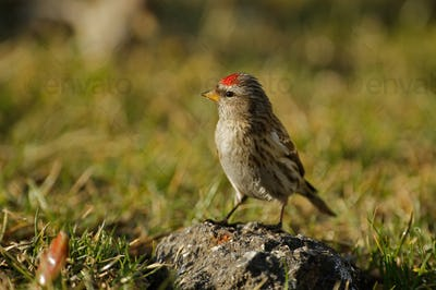 Redpoll (Carduelis flammea) is sitting on a stone