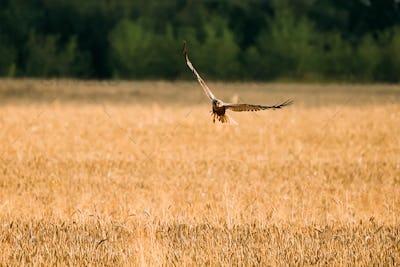 Hen Harrier Or Circus Cyaneus Wild Bird Flies Over Wheat Field I