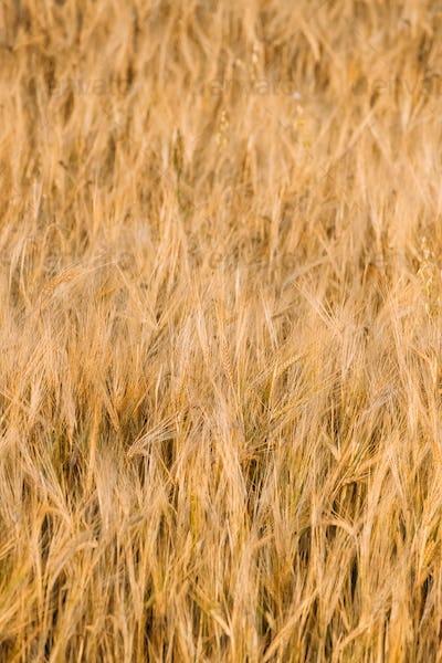 Background Of Yellow Golden Barley Ears In Summer Wheat Field