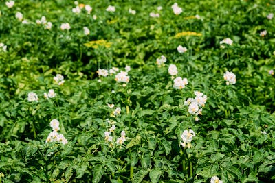 Flowering Blooming Green Vernal Sprouts Of Potato Plant Or Solan