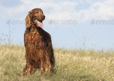 Happy smiling dog standing in the grass