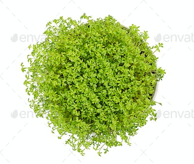 Garden cress in white bowl from above over white