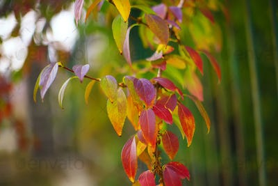 Defocused colored leaves on a bush
