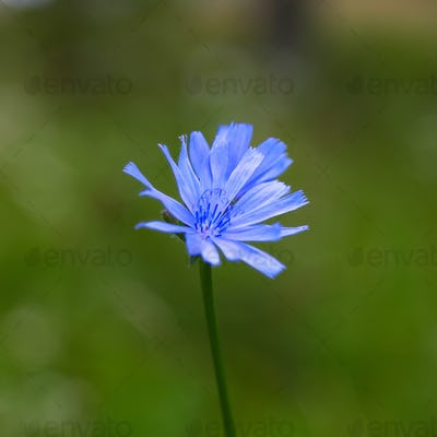 Single Blue Chicory Flower