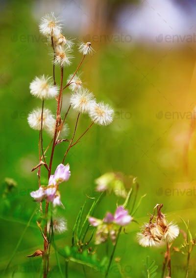 Meadow plants of dandelion