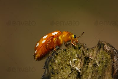 Orange ladybug on branch macro photo