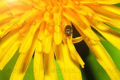 close up of a bug on dandelion flower