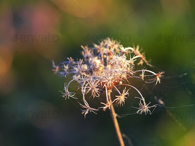 Dried flowers and plants on a background sunset.