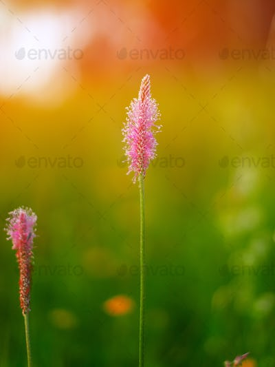 Plantago media Open and closed flower spikes
