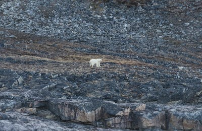 Polar Bear in the High Arctic