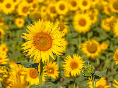 Detail of Field of Sunflower