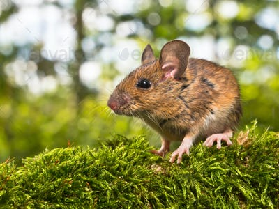 Side View of the Head of a Field Mouse (Apodemus sylvaticus)