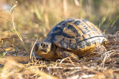 Hermann's tortoise in Grassy Environment Italy, southern Europe