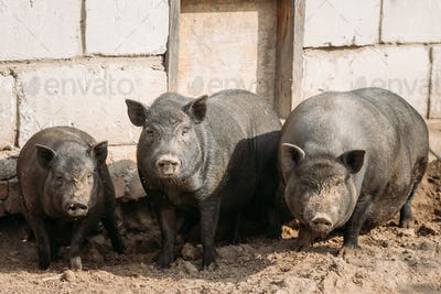 Household A Large Black Pigs In Farm. Pig Farming Is Raising And