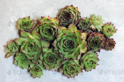 succulent plants decoration