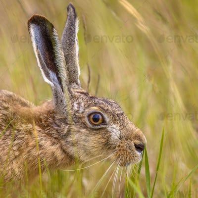 Portrait of European Hare in grass