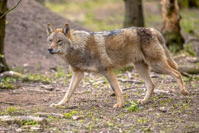 Wolf walking in european  forest habitat