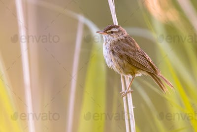 Sedge warbler in reed habitat