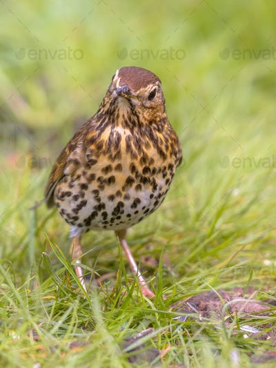 Song Thrush looking at ground with green grass background