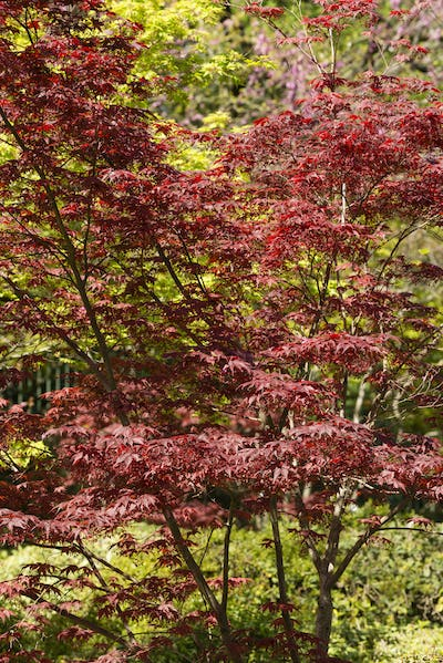 Maple tree with Spring red leaves.