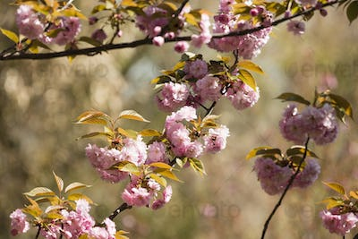 Japanese cherry tree detail of flowers