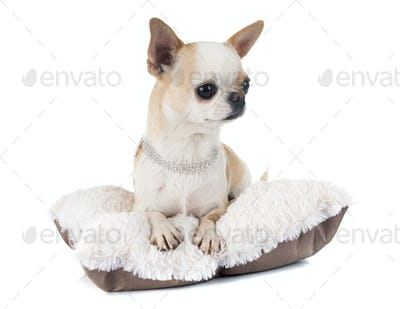 adult chihuahua in studio
