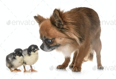chihuahua and chicks