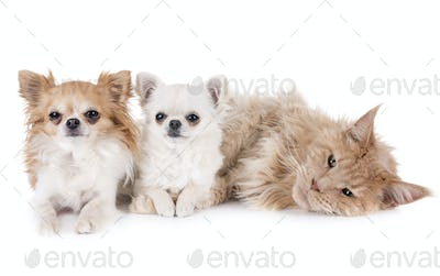 maine coon cat and chihuahua