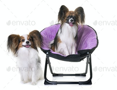 papillon dogs in chair