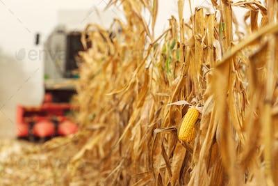 Harvesting corn crop field. Combine harvester working on plantat