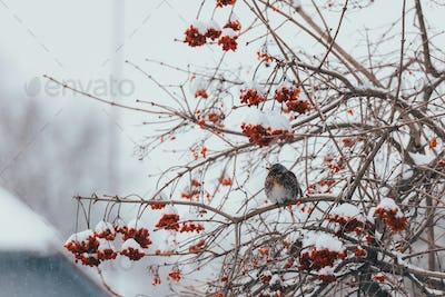 Fieldfare bird eating berries