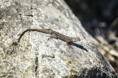 Western fence lizard on a rock.