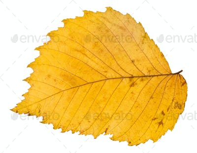 back side of yellow autumn leaf of elm tree