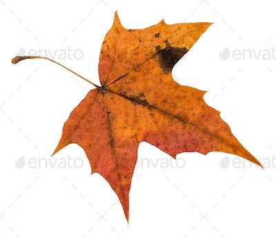 back side of orange autumn leaf of maple tree