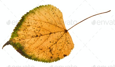 fallen rotten leaf of linden tree isolated