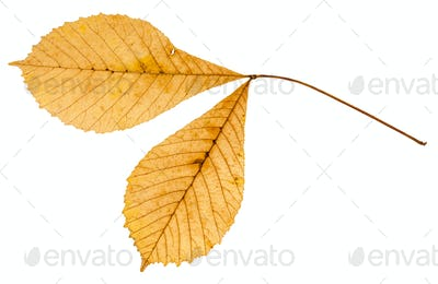 back side of twig with two leaves of buckeye