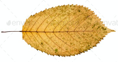 fallen yellow leaf of prunus tree isolated