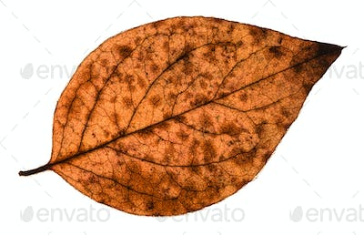 autumn decayed leaf of poplar tree isolated